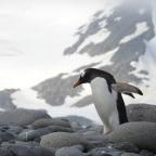 Penguin, penguin, penguin.